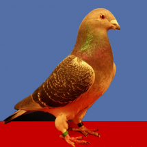 Champion_Old_Flying_Pigeon