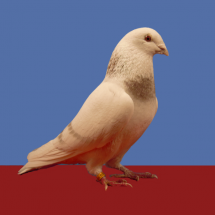 Champion_Young_Flying_Pigeon