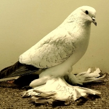 Ice Pigeon