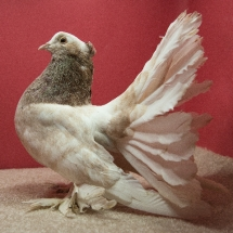 Indian Fantail - Marianne Harangozo