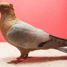 Res Champion Rare Pigeon - Marianne Harangozo