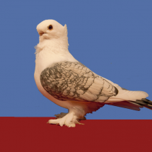 Res_Champion_Old_Fancy_Pigeon_