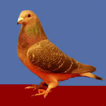 Res_Champion_Young_Flying_Pigeon