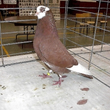 Champion Pigeon by a Junior: American Roller YC #420 owned by Austin Johansen