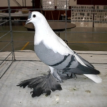 Reserve Grand Champion Fancy Pigeon: Fairy Swallow OC #211 owned by John Taupert