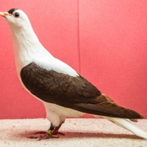 Thuringer Wing Pigeon - Jim McCann