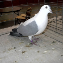 Champion Rare Pigeon: Thuringer Wing Pigeon OC #550 owned by John Taupert