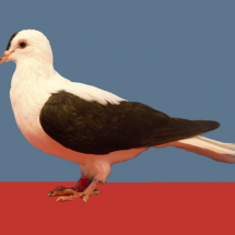 Thuringer_Wing_Pigeon