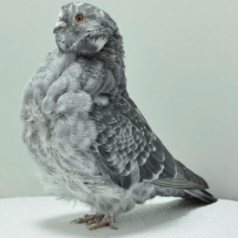 chinese-owl-oh-685-small