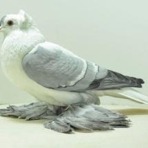 fairy-swallow-yh-6-small
