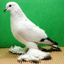 ice-pigeon-15