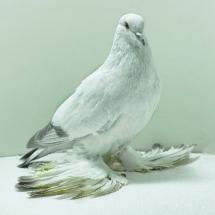 ice-pigeon-yc-176-small