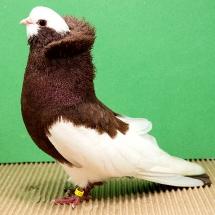 komorner-tumbler-magpie-763