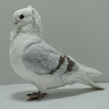 old-german-owl-oc-905-small