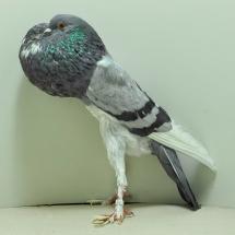 pigmy-pouter-oc-726-small