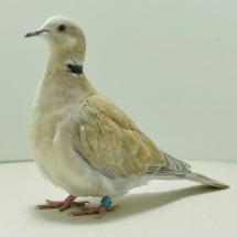 ring-neck-dove-yc-312-small