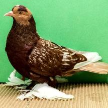 saxon-field-pigeon-238