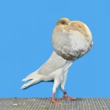 champion-pigeon