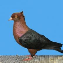 champion-rare-pigeon