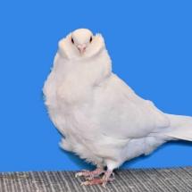 chinese-owl