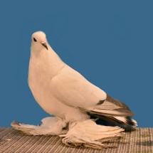 ice-pigeon