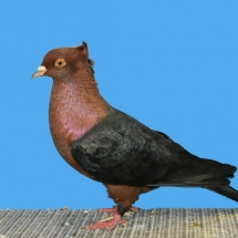 reserve-champion-pigeon