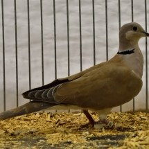 CHAMPION RING NECK DOVE
