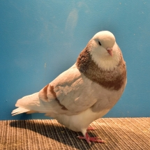 CHAMPION YOUNG FANCY PIGEON