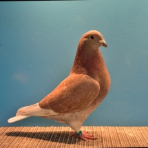 GRAND CHAMPION FLYING PIGEON