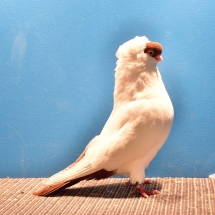 RES. CHAMPION OLD FANCY PIGEON