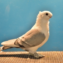 RES. CHAMPION YOUNG FANCY PIGEON