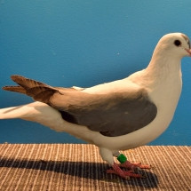 THURINGER WING PIGEON